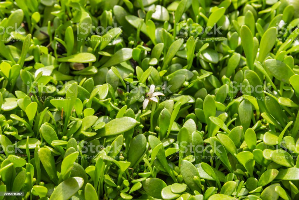 selliera plant leaves and flowers stock photo