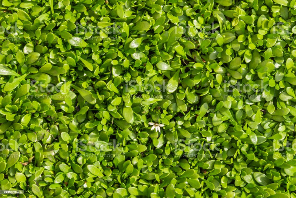 selliera radicans plant leaves background stock photo