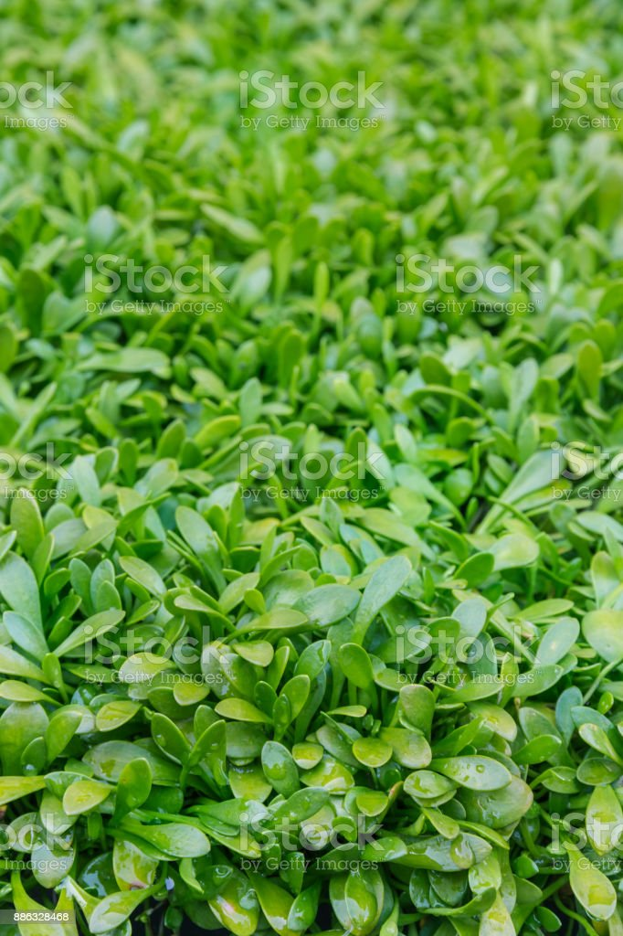 selliera radicans plant leaves background with raindrops stock photo