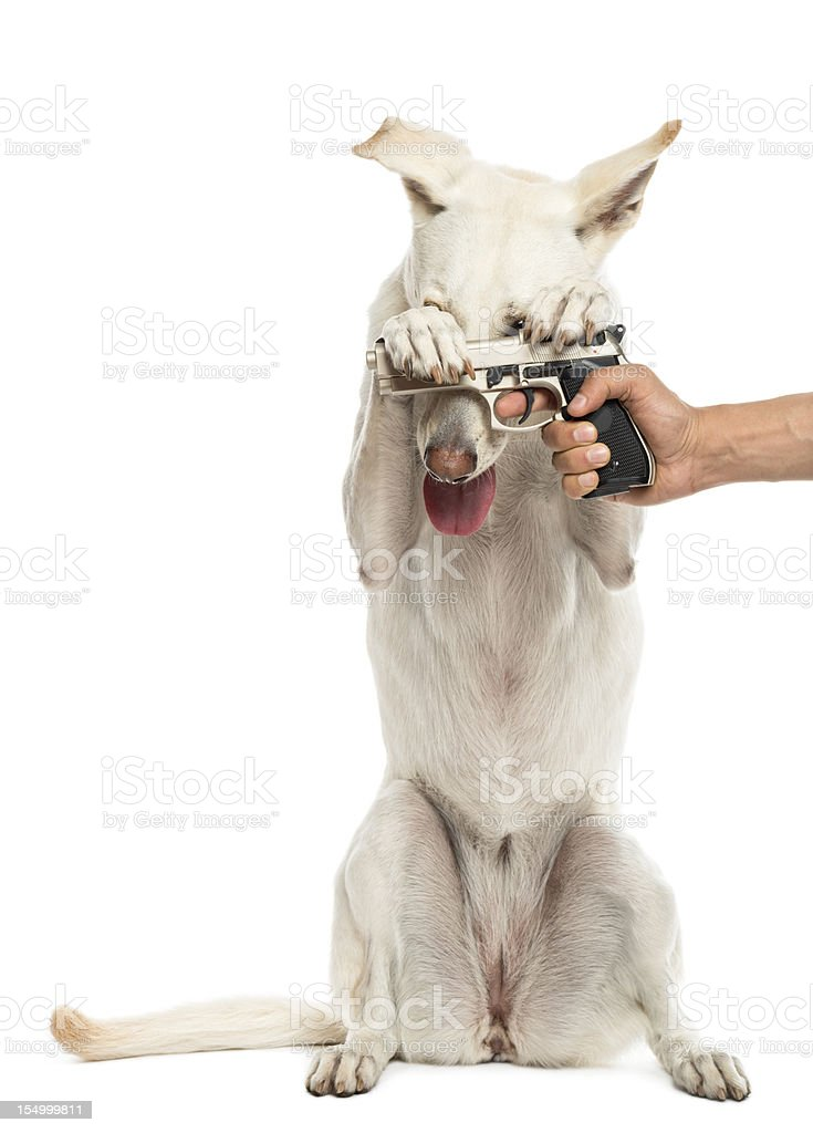 Semi-automatic pistol pointed at Crossbreed dog on hind legs royalty-free stock photo