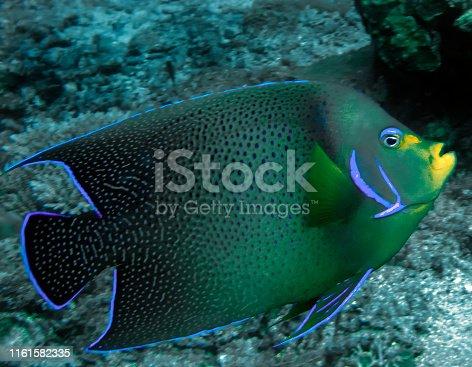 A Semicircle Angelfish (Pomacanthus semicirculatus)