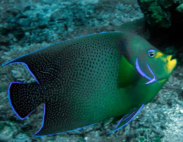 un poisson-ange semi-cercle (pomacanthus semicirculatus) - demi cercle photos et images de collection