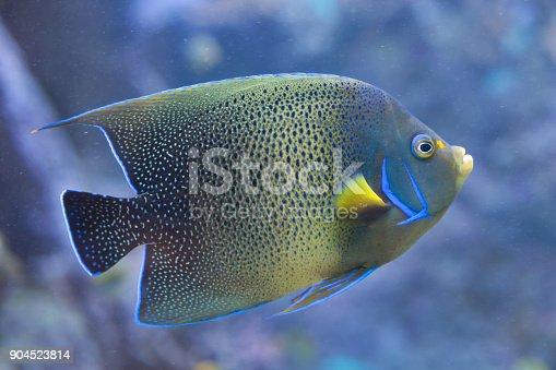 Semicircle angelfish (Pomacanthus semicirculatus), also known as the Koran angelfish.