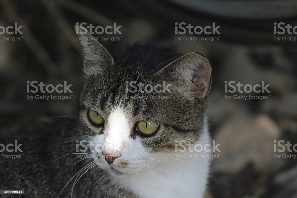 Semi-Feral Tabby and white Cat royalty-free stock photo