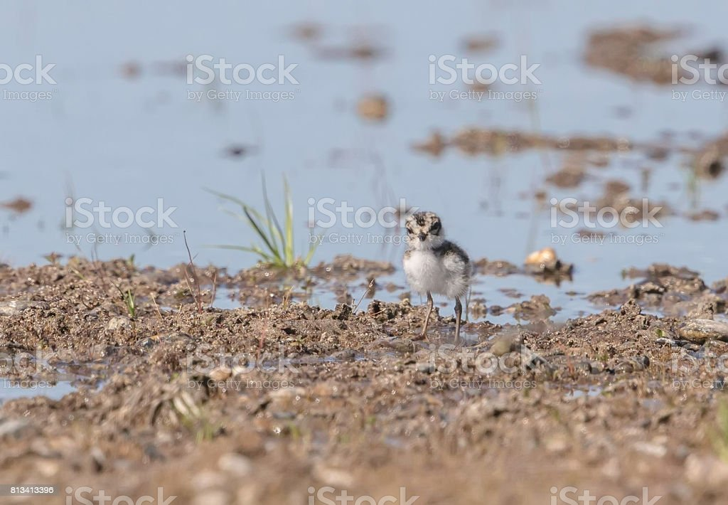 Semipalmated Plover Chick stock photo