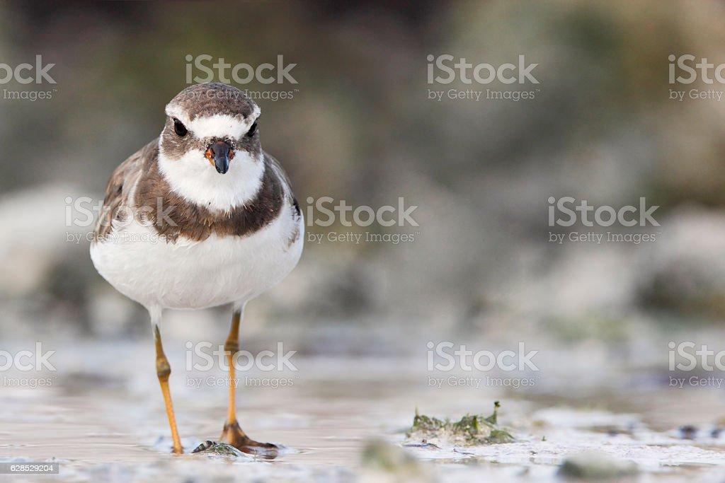 Semipalmated plover (Charadrius semipalmatus), Curry Hammock State Park, Florida, USA stock photo