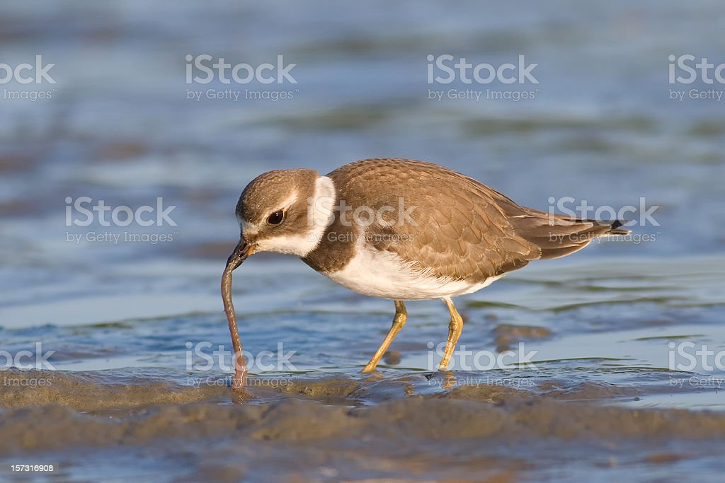 Semipalmated Plover Feeding on Worm stock photo
