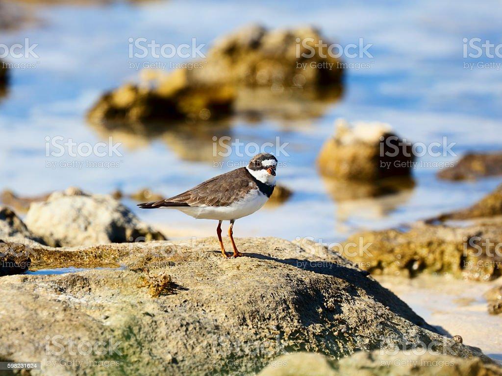 Semipalmated plover (Charadrius semipalmatus) in a seashore foto royalty-free