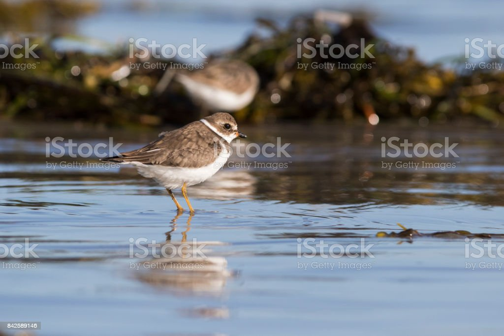 Semipalmated plover stock photo