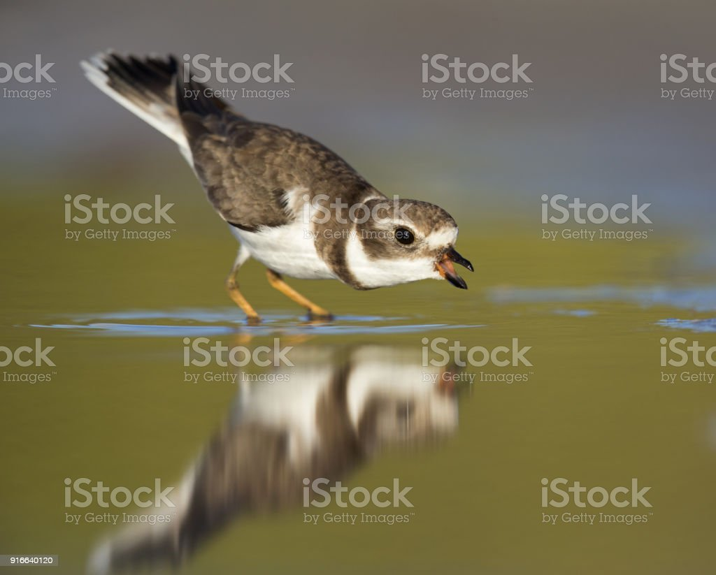 Semipalmated plover (Charadrius semipalmatus) standing in shallow water having a territorial conflict. stock photo