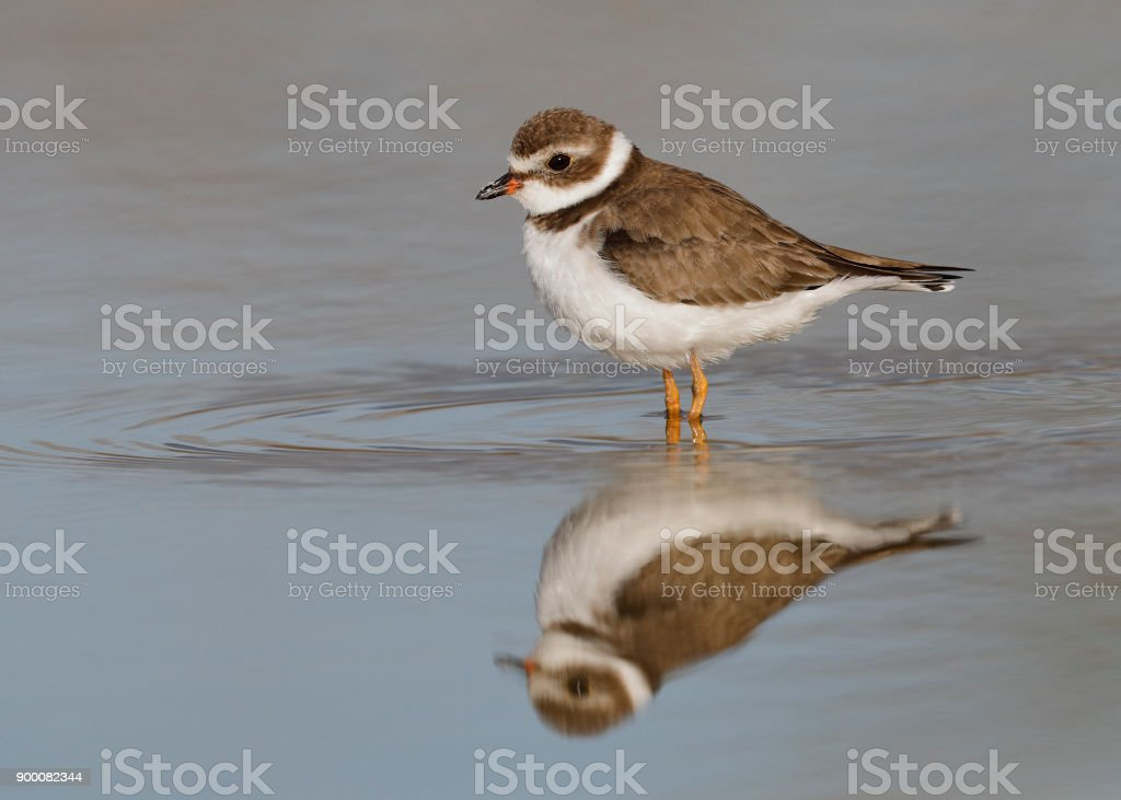 Semipalmated Plover wading in a shallow pond - Florida stock photo