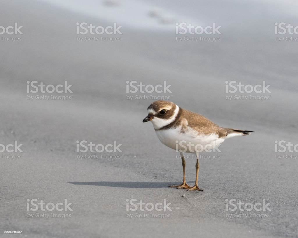 Semipalmated plover walking on a sand flat. stock photo