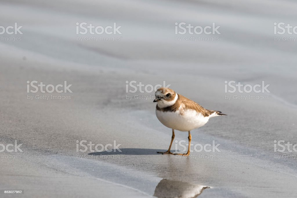 Semipalmated plover with reflection stock photo