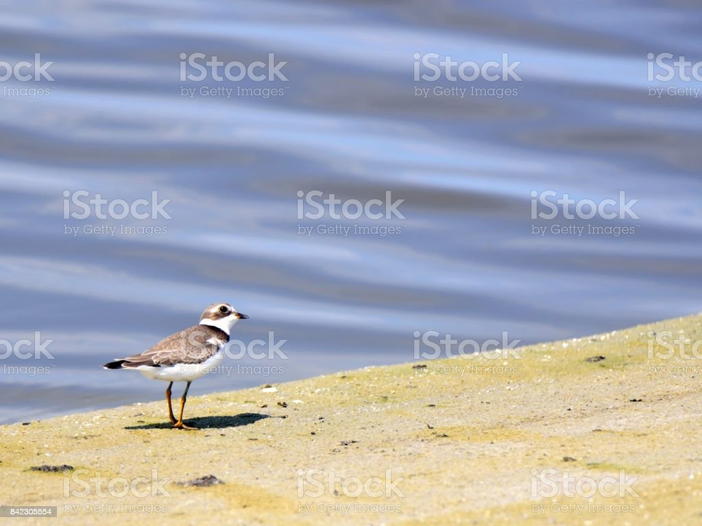 Semipalmated Sandpiper Looking Up stock photo