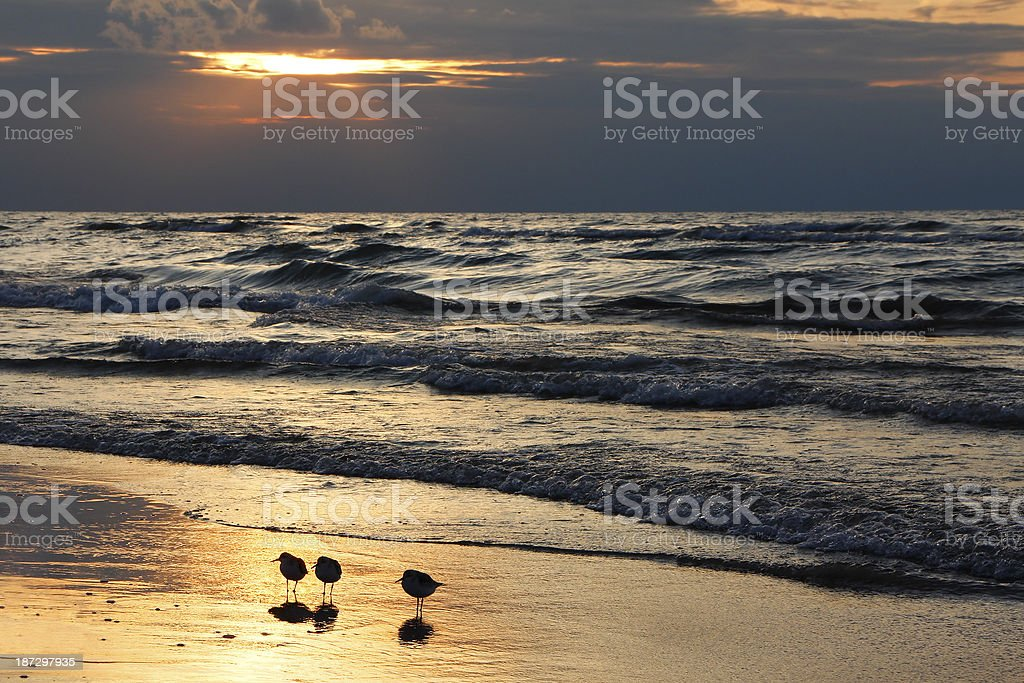 Semipalmated Sandpipers on Beach at Sunset stock photo