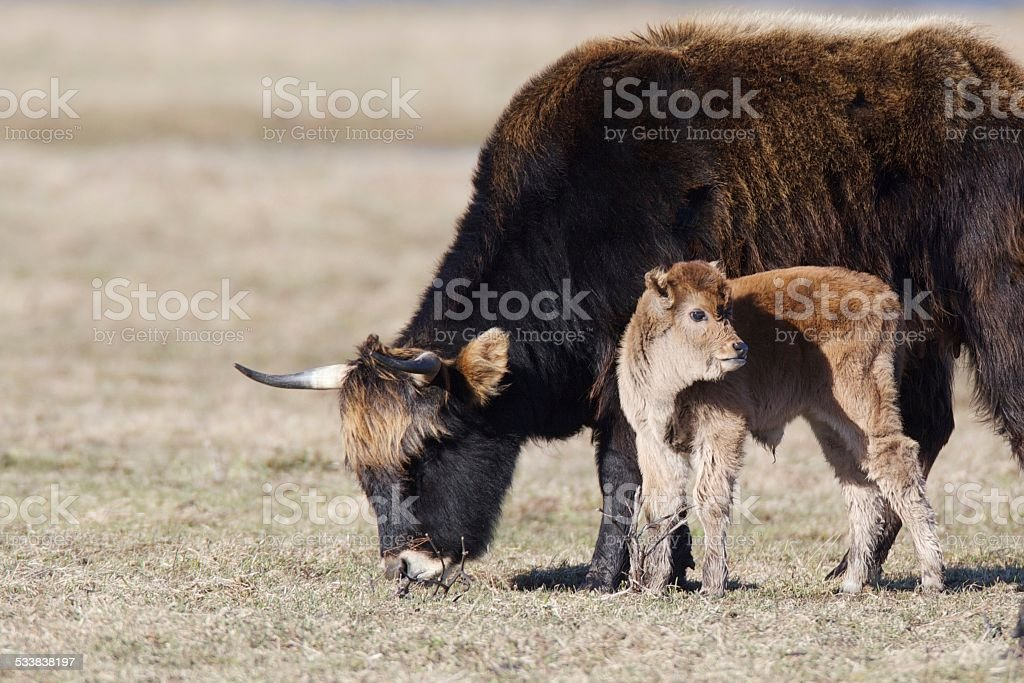 Semi-wild cow with calf stock photo