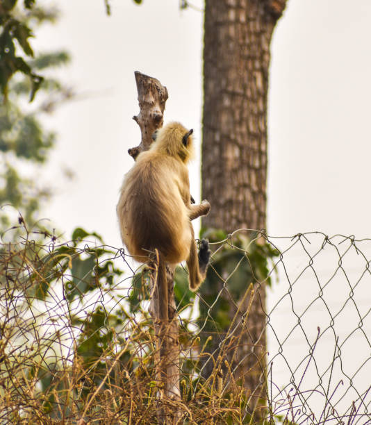 Semnopithecus known as Gray langur Gray langue showing back  and sitting on the wire mesh fence tufted gray langur stock pictures, royalty-free photos & images