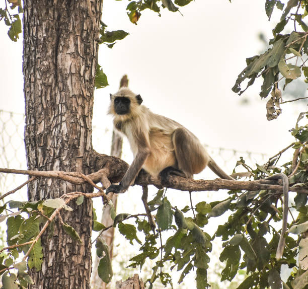 Semnopithecus known as Indian langur or Hanuman langur Indian langur sitting on the branch of a tree and taking rest tufted gray langur stock pictures, royalty-free photos & images