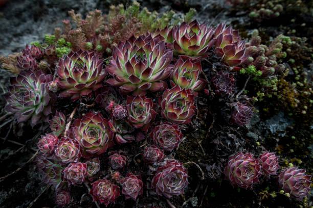 sempervivum calcareum - hauswurz - dachwurz stock-fotos und bilder