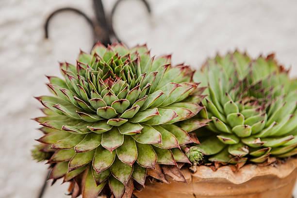 sempervivum calcareum'limelight' - dachwurz stock-fotos und bilder