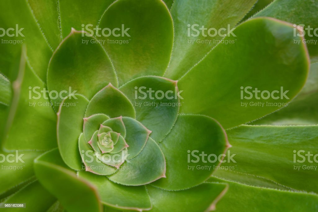 Sempervivum closeup , succulent plant rosette macro royalty-free stock photo