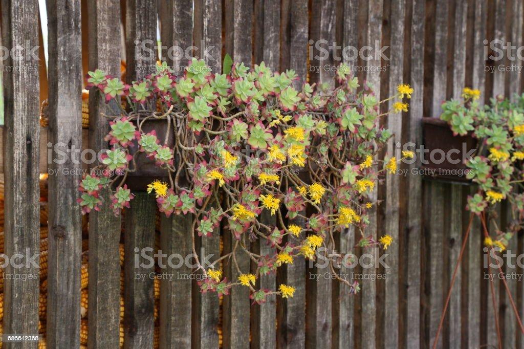 Siemprevivas flor foto de stock libre de derechos