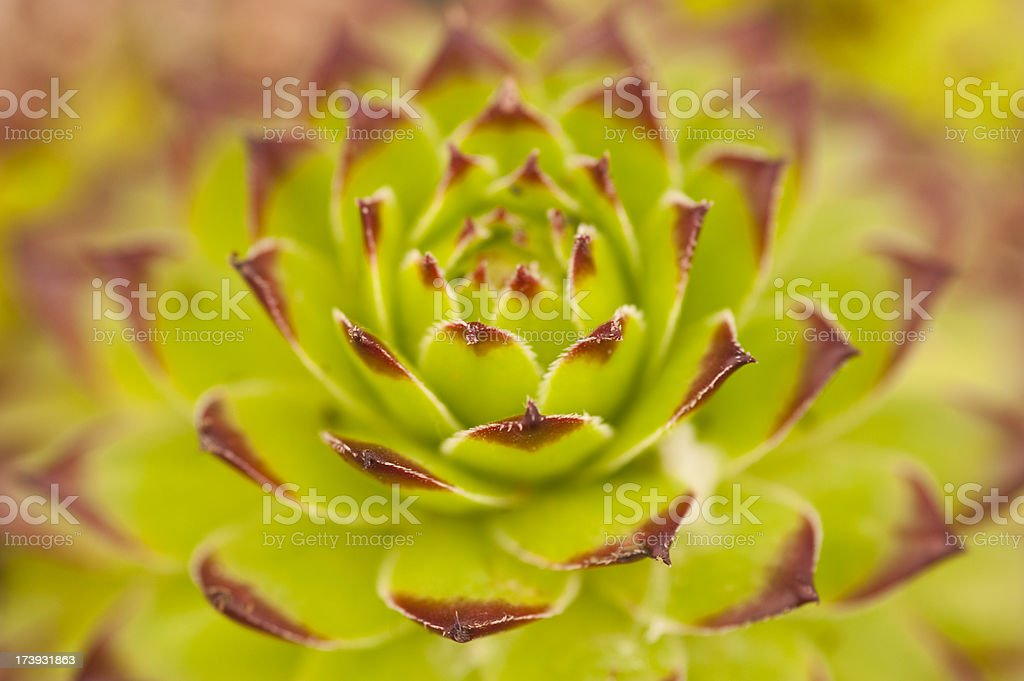 Sempervivum or Houseleek stock photo