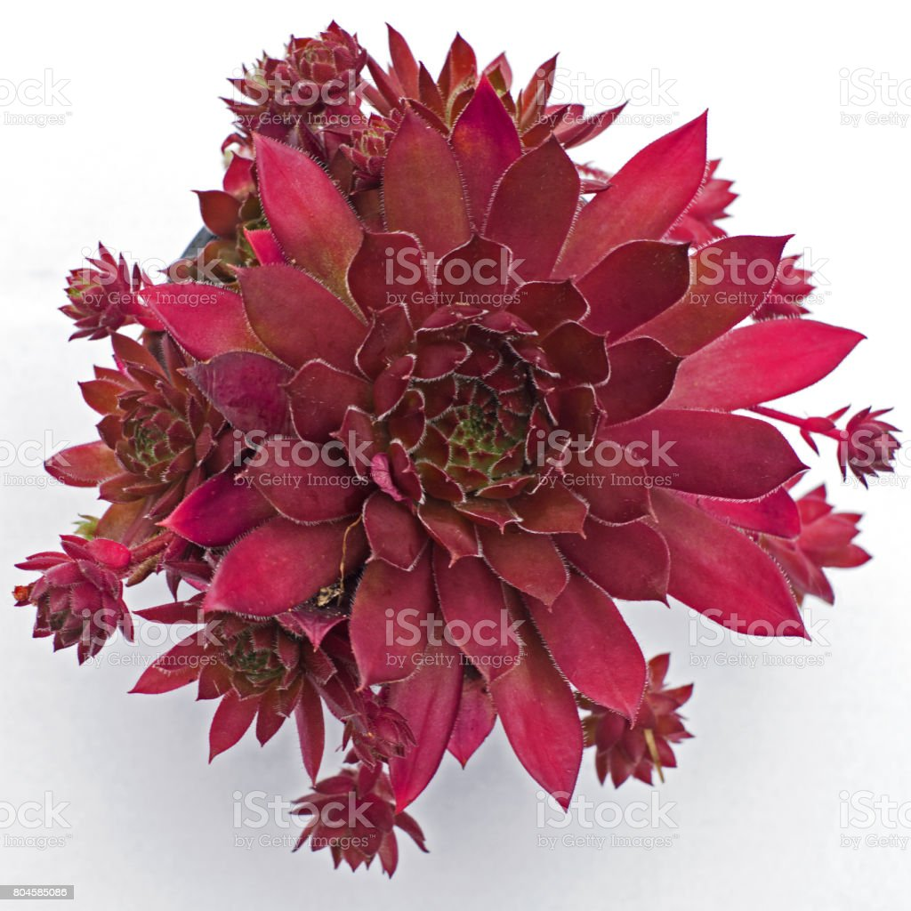 Sempervivum plant ( Black Prince ) stock photo
