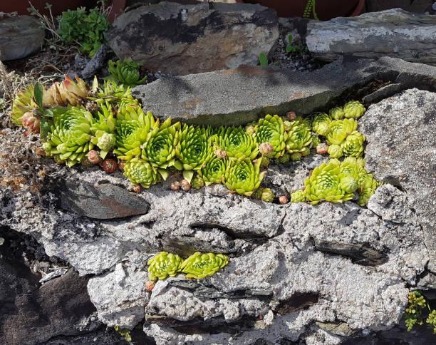 sempervivum tectorum, trockenbau - dachwurz stock-fotos und bilder