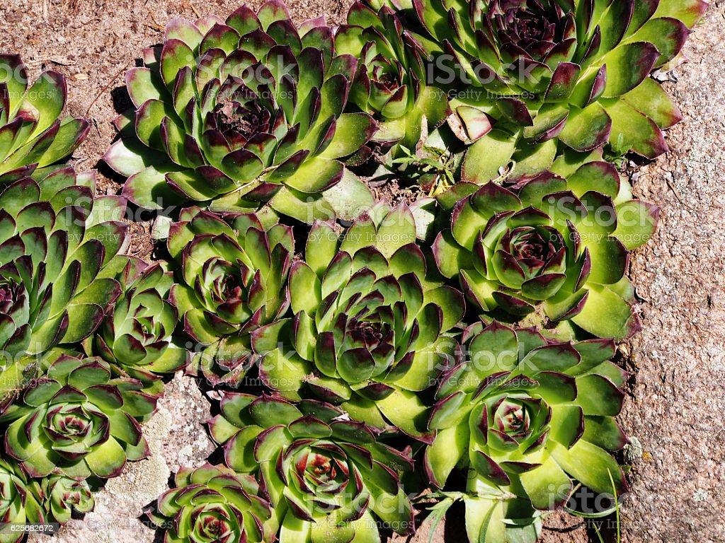 Barba Di Giove Sempreverde sempervivum tectorum houseleek - fotografie stock e altre