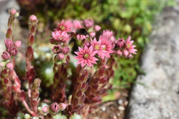 Sempervivum tectorum, Bergpflanze – Foto