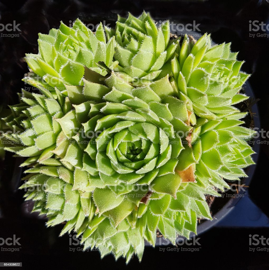 Sempervivum, tectorum stock photo