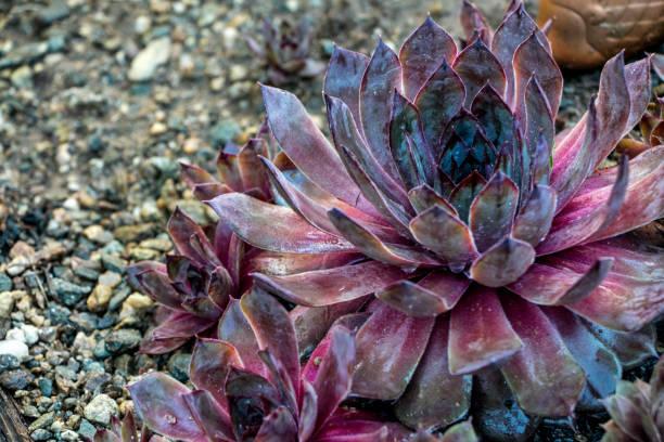 """sempervivum tectorum """"red rubin"""" - dachwurz stock-fotos und bilder"""