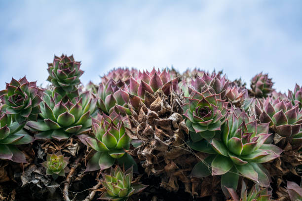 sempervivum tectorum - dach-hauswurz gegen bewölktem himmel - dachwurz stock-fotos und bilder