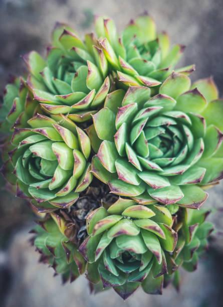 sempervivum tectorum draufsicht - dachwurz stock-fotos und bilder