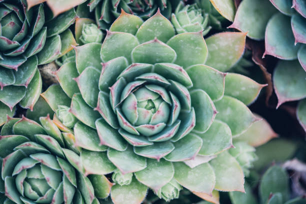sempervivum tectorum, gemeinsame hauswurz, -mehrjährige pflanze im blumentopf wachsen. sempervivum in der natur, sehr gesunde pflanze - dachwurz stock-fotos und bilder