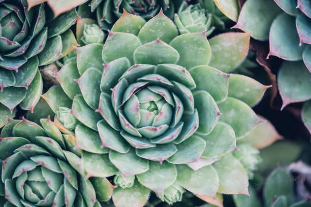Sempervivum tectorum,Common Houseleek, - perennial plant growing in flower pot. Sempervivum in nature, great healthy plant stock photo