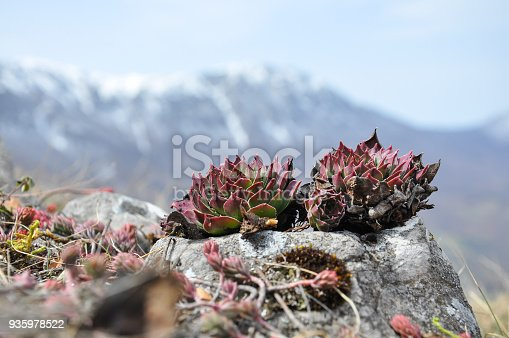 Sempervivum in nature, great healthy plant for herbal medicine