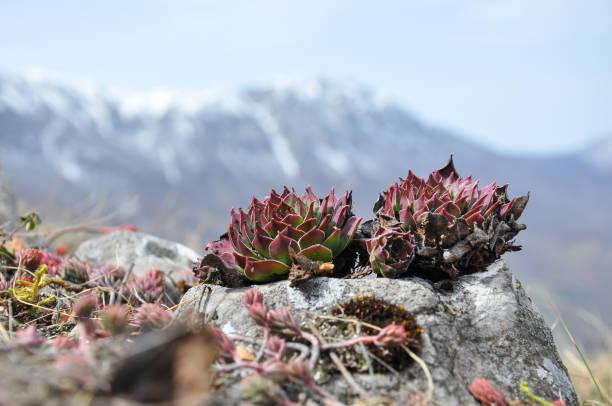 sempervivum tectorum, gemeinsame hauswurz, -mehrjährige pflanze wächst auf berg - dachwurz stock-fotos und bilder