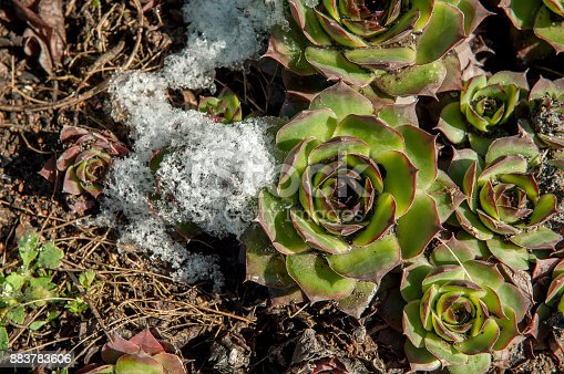 Sempervivum under snow, stone rose