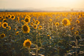 Beautiful sunflower field in the summer.