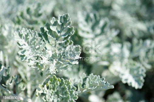 shrub of dusty miller (Senecio cineraria).