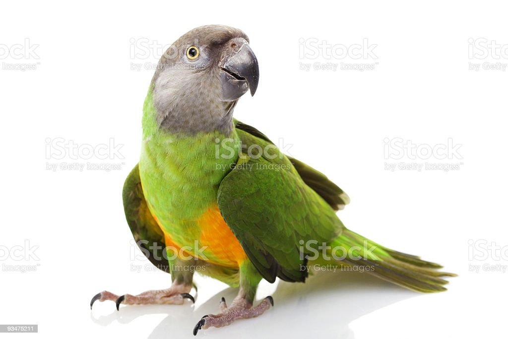 Senegal Parrot stock photo