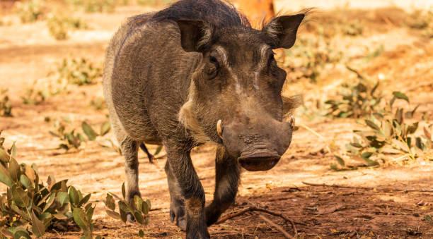 Senegal Wart Hog stock photo