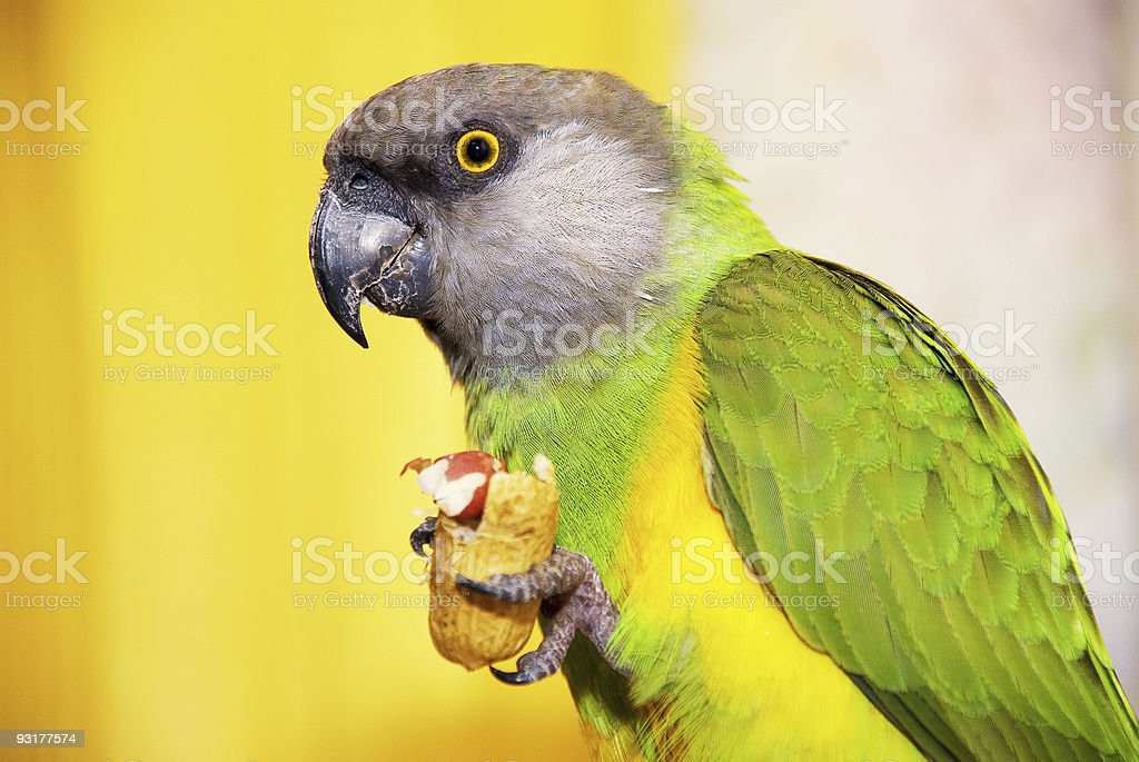 Senegalese parrot with a walnut in the paw royalty-free stock photo
