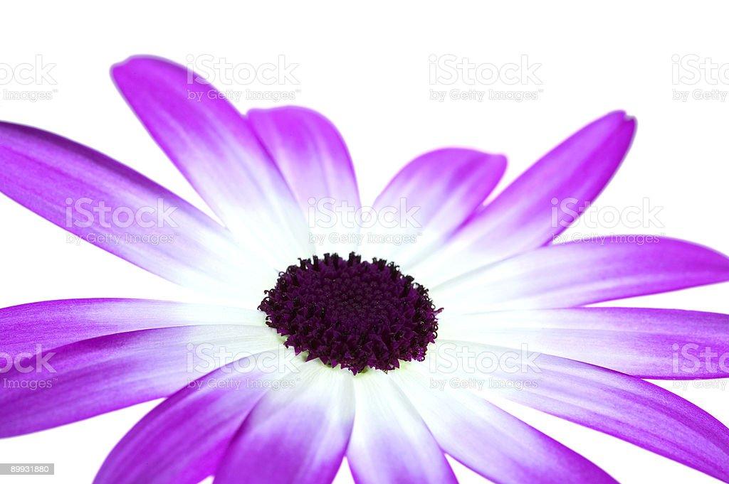 Senetti Magenta Bi-Colour royalty-free stock photo