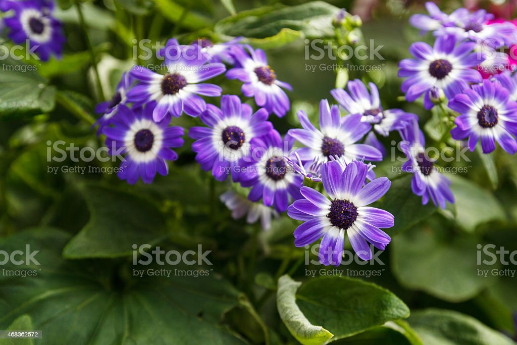 Senetti purple flower in the garden royalty-free stock photo