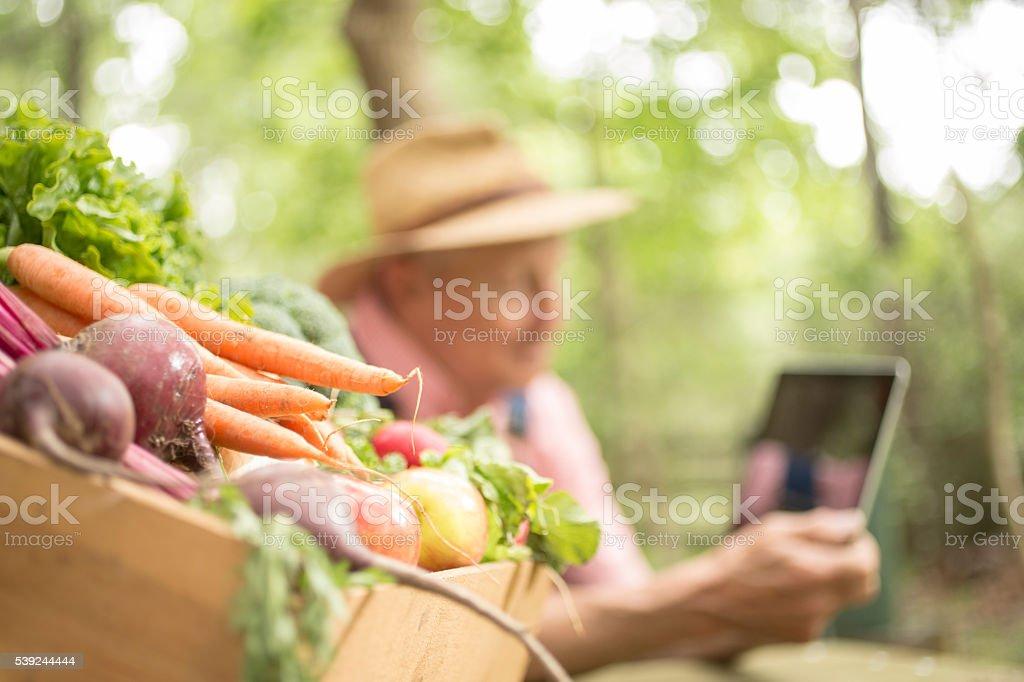 Senior adult, male farmer harvests organic vegetables.  Digital tablet. royalty-free stock photo