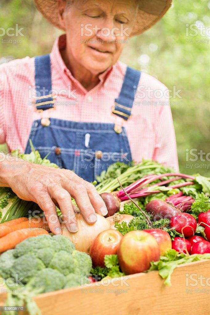 Senior adult, male farmer harvests organic vegetables. royalty-free stock photo
