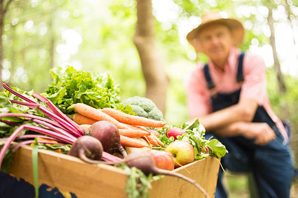 senior adult, male farmer harvests organic vegetables. - organic farm stock photos and pictures